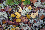Aspen Leaves and Reindeer Lichens