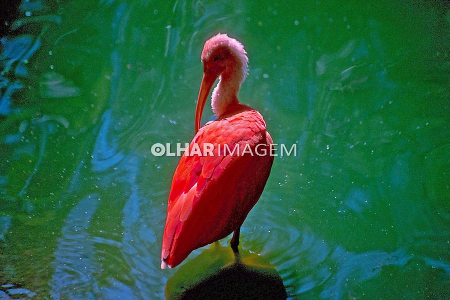 Animais. Aves. Guará vermelho (Guara rubra) no zoológico, SP. Foto de Dudu Cavalcanti.