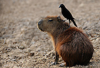 Capybara (Hydrochoerus hydrochaeris) with a Giant cowbird (Molothrus oryzivora) on its back, Mato Grosso do Sul, Brazil.