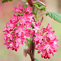 Flowering currant (Ribes sanguineum 'Red Pimpernel'), early April.