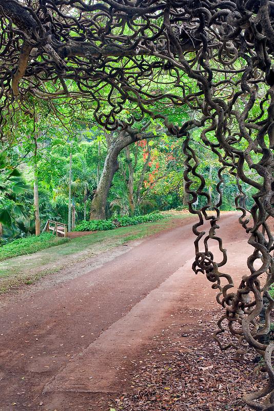Road through National Tropical Botanical Garden with Red Jade Vine - New Guinea Creeper. Kauai, Hawaii