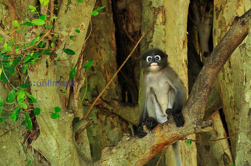 Dusky Leaf Monkey (Trachypithecus obscurus), Khao Sam Roi Yot National Park, Thailand