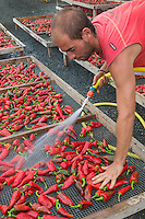 France, Aquitaine, Pyrénées-Atlantiques, Pays Basque, Espelette: aprés la récolte les  piment d'Espelette, sont lavés    chez Ramuntxo Pochelu, L'Atelier du Piment  //  France, Pyrenees Atlantiques, Basque Country, Espelette : after harvest, Espelette pepper, are washed, Ramuntxo Pochelu, L'Atelier du Piment