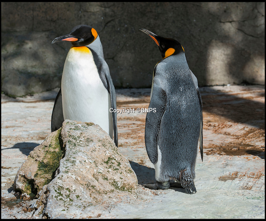 BNPS.co.uk (01202 558833)<br /> Pic: PhilYeomans/BNPS<br /> <br /> Proud parents Frank and Lilly. <br /> <br /> Britains only King penguin chick has undergone a remarkable transformation in just four months - ballooning from half a pound to a whopping stone and a half.<br /> <br /> The plummeting temperatures may be causing misery for people around Britain - but this supersized penguin chick is more than content in the big freeze thanks to its massive winter coat.<br /> <br /> The big ball of fluff is the first King penguin chick to be born in the UK in five years, and has gone from just a few inches tall to a staggering two and a half feet in a matter of months.<br /> <br /> It was weak, wrinkly and grey, unable to even stand on its own two feet when it was born at Birdland in Bourton on the Water, Glos, last September.<br /> <br /> But despite its growth spurt the huge chick still has to avoid the water untill its adult plumage come's through.