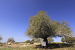 Israel, Lower Galilee, An Atlantic Pistachio (Pistacia atlantica) tree in Hurvat Usha