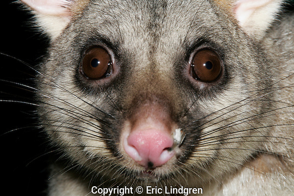 Head study of a Common Brushtail Possum showing remnants of a seed husk on its nose after a nocturnal foray onto a bird feeder.  //  Common Brushtail Possum - Phalangeridae: Trichosurus vulpecula. Length to 35cm  plus tail 35cm.  Occurs in forests, woodlands, and urban areas in Australia from Broome in north-west Western Australia, through the Kimberley Region, and around the east coast to South Australia and Tasmania.  Also occurs in the forested south west of Western Australia, and in isolated pockets throughout arid areas.  Feeds mainly on foliage. Common and tame in urban areas, where often seen during the night on power lines outside suburban housing as it wends its way to its favoured feeding grounds. Nocturnal, sleeps during daytime in a hollow tree, or in cavities in buildings in urban areas. Introduced to New Zealand, where it is a pest species. //