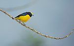 Male orange-bellied euphonia, Euphonia xanthogaster, Tandayapa Valley, Ecuador