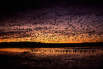 Snow geese and Sandhill Cranes in Bosque del Apache National Wildlife Refuge, New Mexico
