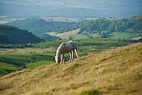 Welsh mountain pony feeds on grassy hillside; Hay Bluff; Wales