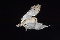 Barn Owl, Tyto alba, adult, Willacy County, Rio Grande Valley, Texas, USA, May 2007