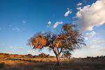 Kgalagadi Transfrontier Park, landscape at dusk with thorn tree, Northern Cape, South Africa