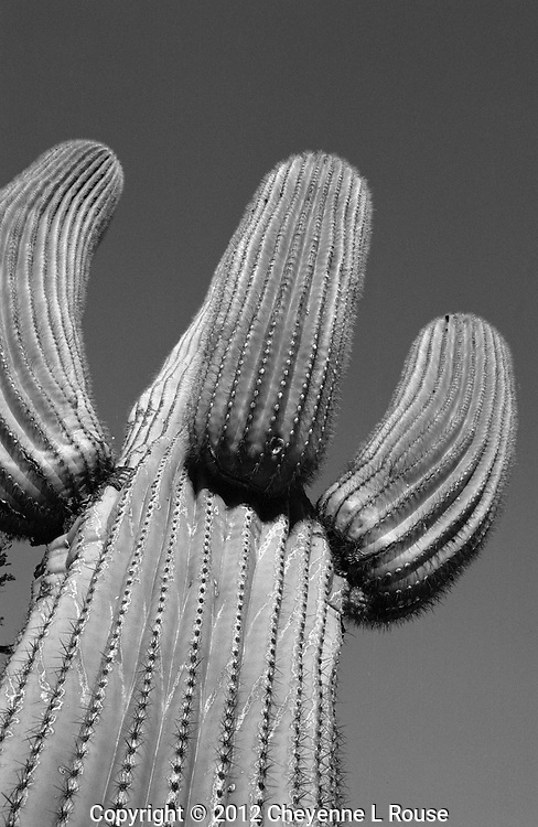 Saguaro cactus - Arizona (BW) - Sonoran Desert
