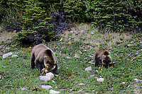 Grizzly Bears--sow and cub--turning over rocks looking for insects and ants to eat.  Northern Rockies.  June.