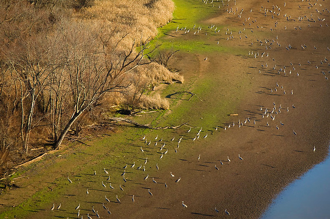 Sandhill Cranes along Tennessee River