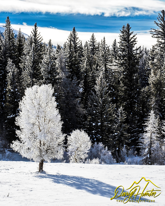 Frosty Tree, cold day, Grand Teton National Park.  It was a hoar frosty morning in Jackson Hole