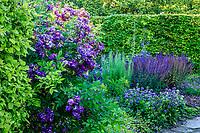 """France, Loir-et-Cher (41), Cellettes, Château de Beauregard et le parc, Jardin des Portraits imaginé par Gilles Clément, jardin """"le violet du deuil"""" avec Salvia nemorosa 'Superba', rosa 'veilchenblau'"""