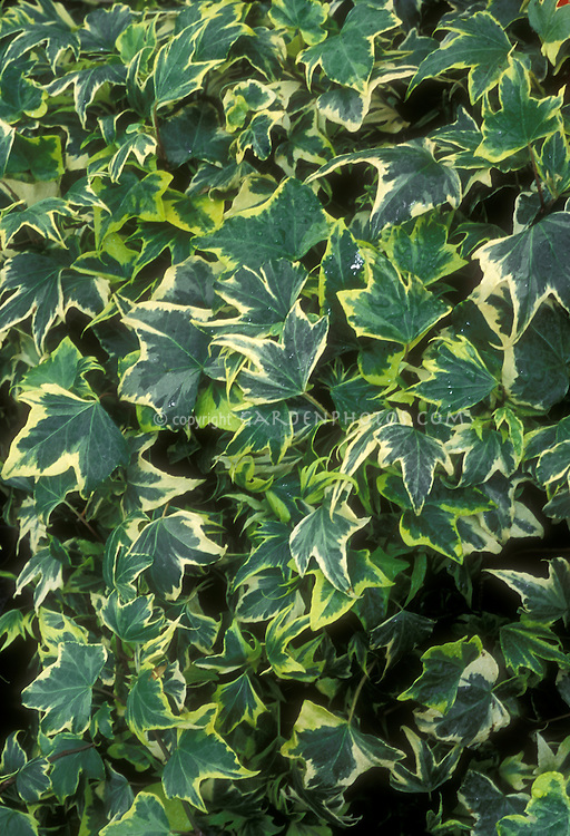 Hedera helix 'Gold Ripple' variegated ivy green and yellow edge