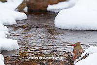 01530-21106 Northern Cardinal (Cardinalis cardinalis) female drinking in winter, Marion Co., IL