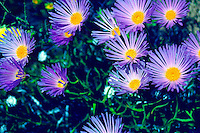 MOHAVE ASTER BLOOMS