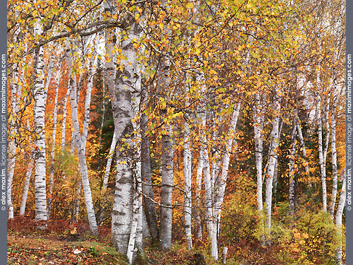 Fall nature scenery of birch trees with colorful yellow leaves in a forest. Arrowhead Provincial Park, Ontario, Canada.