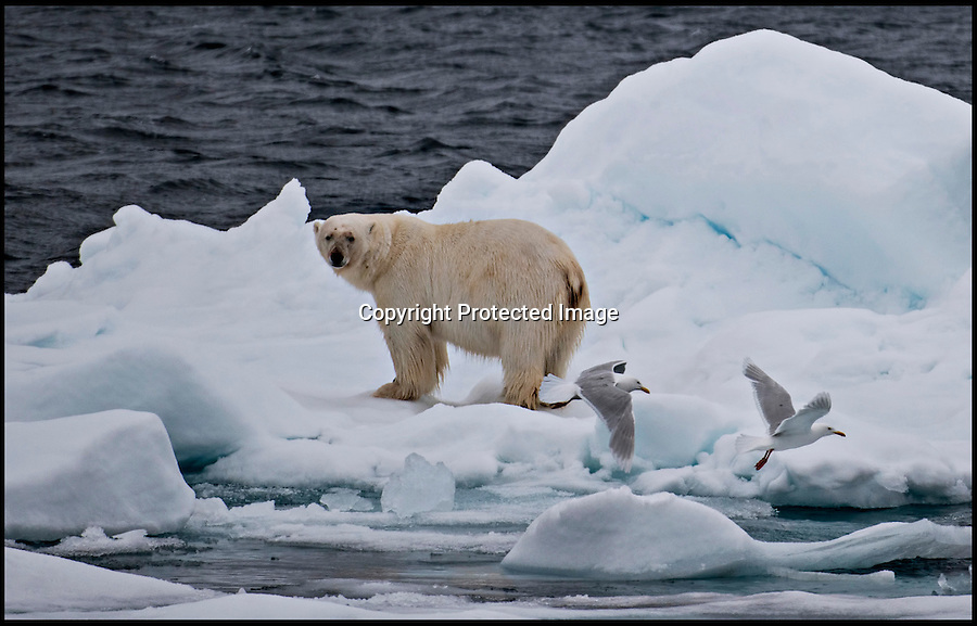 BNPS.co.uk (01202) 558833Picture: JaneDagnall/BNPS***Please use full byline****<br /> It's Yoga Bear!<br /> <br /> It would appear even Polar bears have to keep trim - These amazing pictures show the fearsome predator of the Arctic going through a Yoga routine after polishing off a heavy lunch of seal...<br /> <br /> The animal had launched into the yoga routine as a way to relax after demolishing a seal it had caught from the chilly waters below.<br /> <br /> Once he had climbed out of the water he dropped onto his stomach and slowly rolled over until he was lying on his back.<br /> <br /> The adult bear then proceeded to demonstrate some comical stretches and raised all four legs in the air before twisting and turning on the ice.<br /> <br /> The hilarious demonstration was captured on camera by Jane Dagnall, 49, who was on the Arctic photographic holiday.