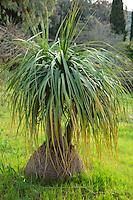 Le Domaine du Rayol:<br /> dans le jardin d'Am&eacute;rique subtropicale, Nolina longifolia = noline &agrave; longues feuilles.