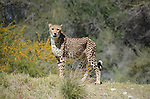 Cheetah female vocalizes in Palm Desert
