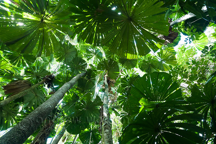 Licuala palm rainforest at Cape Tribulation, Daintree National Park, Queensland, Australia