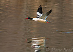 Common Merganser (Mergus merganser), male in flight over water, Ithaca, New York, USA