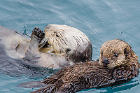 Sea Otter (Enhydra lutris) mom with young pup.  Prince William Sound, Alaska.  Spring.