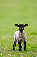 Lamb in the Cotswolds, Oxfordshire, United Kingdom, UK. RESERVED USE - NOT FOR DOWNLOAD -  FOR USE CONTACT TIM GRAHAM