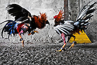 Cocks fight in the arena, Villavicencio, Colombia, 18 April 2006. Cockfight is a widely popular and legal sporting event in much of Latin America. The fight is usually held in an arena (gallera) with seats for spectators. There is always gambling involved in cockfights. People take advantage of cock's natural, strong will to fight against all males of the same species. Birds are specially bred to increase their aggression and stamina, they are given the best of food and care. The cocks are equipped with tortoise-shell made gaffs tied to the bird's leg. The fight is not intentionally to the death but it may result in the death of cocks very often because birds never stop fighting. They may bleed, they may have punctured lungs, both eyes pecked out but they naturally fight to the death.