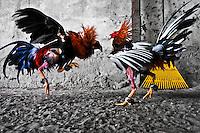 Cockfight (Colombia, Venezuela)
