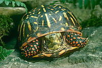 Close up of box turtle