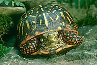 Close up of box turtle
