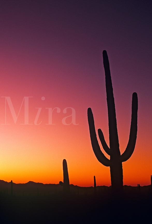 Saguaro cactus at Saguaro National Monument Tucson Arizona