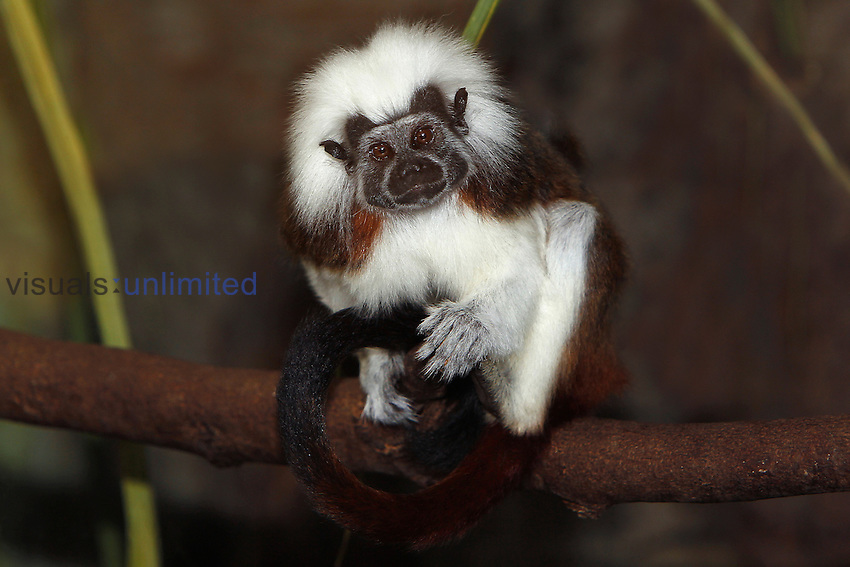 Cotton Top Tamarin (Saguinus oedipus) adult sitting on branch. Captivity.