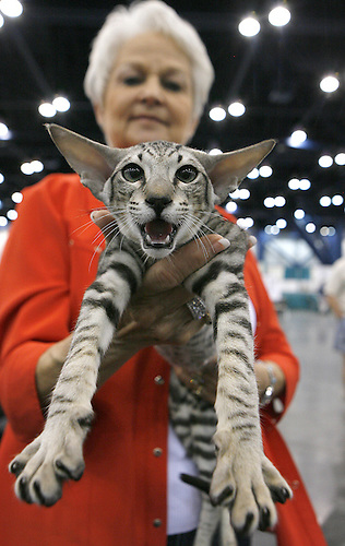 """""""Broadway Joe"""", a 6 month old Oriental Short Hair cat gives his opinion as he is held by his owner, Gail Bercher of Needville, TX. The Houston Cat Club held its 56th Annual Charity Cat Show at the George R. Brown Convention Center this weekend with more than 384 cats in the competition.  (Sunday, Jan. 6, 2008, in Houston. ( Steve Campbell / Chronicle)"""