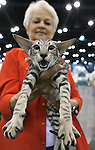"""Broadway Joe"", a 6 month old Oriental Short Hair cat gives his opinion as he is held by his owner, Gail Bercher of Needville, TX. The Houston Cat Club held its 56th Annual Charity Cat Show at the George R. Brown Convention Center this weekend with more than 384 cats in the competition.  (Sunday, Jan. 6, 2008, in Houston. ( Steve Campbell / Chronicle)"