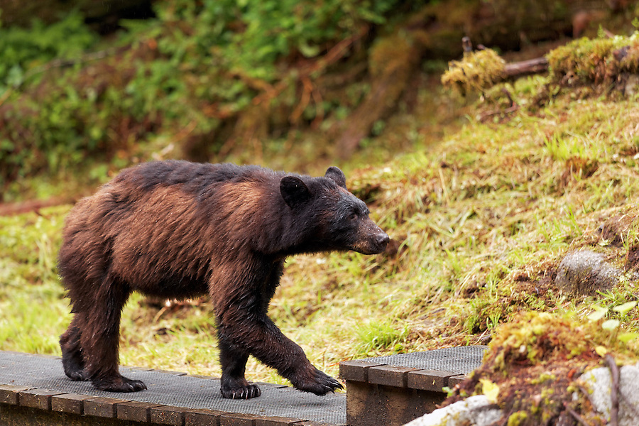 Female coastal brown bear walking along wooden walkway, Anan Wildlife Observatory, Tongass National Forest, Southeast, Alaska