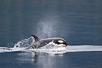 killer whale or orca, Orcinus orca, lunging, Chatham Strait, Southeast Alaska, aka Alaska Panhandle, Alaska, USA, Pacific Ocean