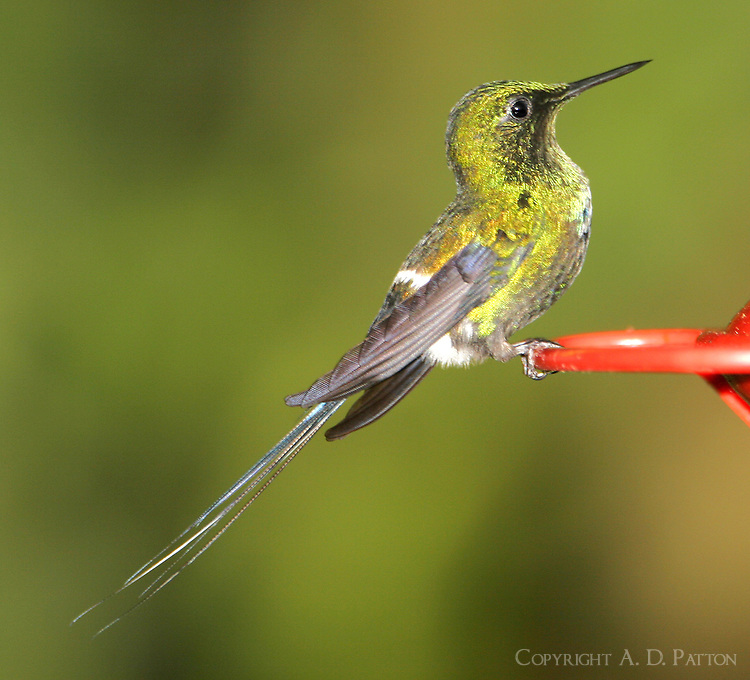 Adult male green thorntail