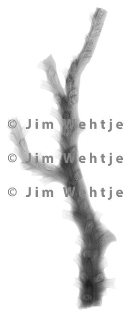 X-ray image of deepwater staghorn coral (black on white) by Jim Wehtje, specialist in x-ray art and design images.
