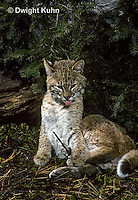 MA26-088z  Bobcat - young - Felis rufus.