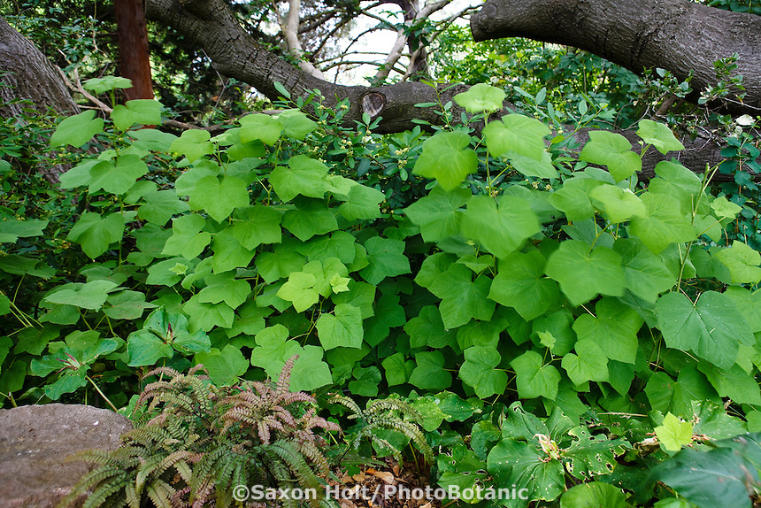 Thimbleberry Rubus parviflorus leaf texture in California native plant shade garden under oak tree with ferns, Schino