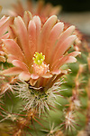 Pollen in the opened cactus flower blooming in the greenhouse at the Chihuahuan Desert Nature Center