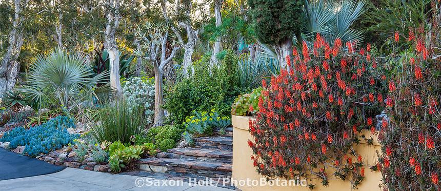 Aloiampelos ciliaris or Aloe ciliaris, flowering Climbing Aloe sprawling over retaining wall in Patrick Anderson Garden