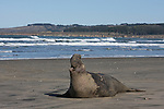 NOrthern elephant seal vocalizing at Ano Nuevo State Park