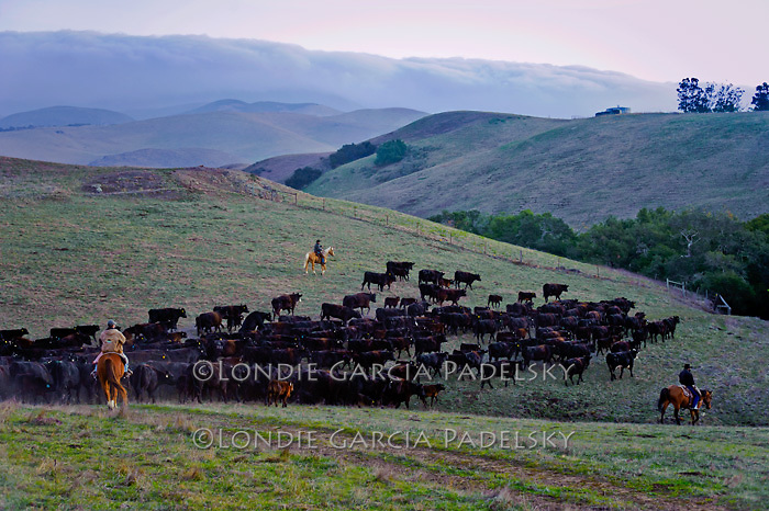 Dawn, students in the Animal Science Department at  California Polytechnic State University rounding up cattle at the Escuela Ranch, San Luis Obispo, California