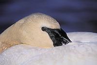 Trumpeter Swan. Spring. Endangered Species. Coastal British Columbia, Canada. (Cygnus buccinator).